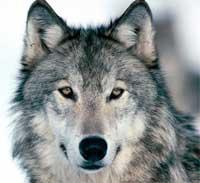 dark wolf wite spirit