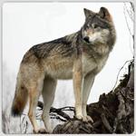 werewolfee