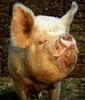 [ULTRA]-piggy