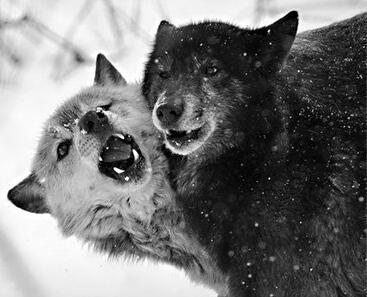 Одинокая волчица или Ноч