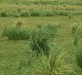 трава луговая