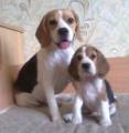 Vanilla Beagle