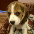Ginger_the_beagle