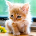 кошка_рыжая