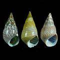 sea_shell
