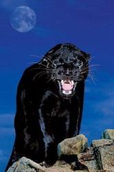 Гневная Пантера