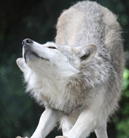 Alekto wolf