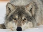 Волчица николь