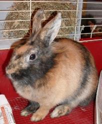 Можно ли давать кроликам листья от одуванчиков? ии