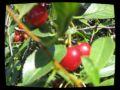 Cherry_Nata