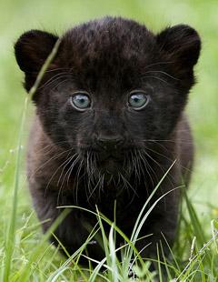 Чёрный Пантерёнок
