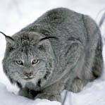 горный кот