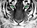 Aleh Tiger