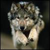 Wolf-63