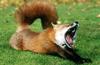 Mr.Fox015