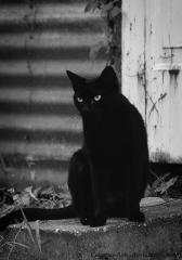 Кошка-Воительница