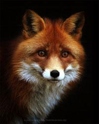fox78