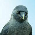 Пташка залётная ГАЛЛА