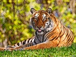 Леди Тигровый глаз