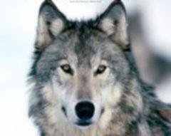 Серая Волчи