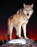 Чёрная волчица