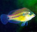 Рыба Зеленуха