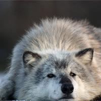 ^Soul_Wolf^