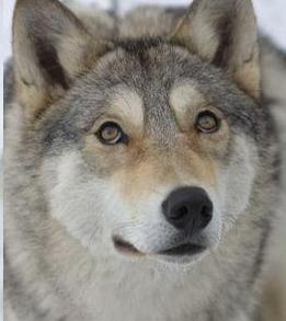 Dangerous wolf