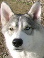 Husky-Wolfy