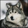 Wolfangel