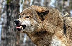 Волчица Хоро