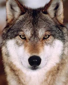 Сталкер Волк