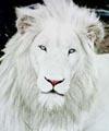 Долгоиграющий лев