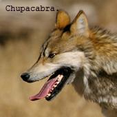 Chupacabra.