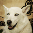 Hvit Hund