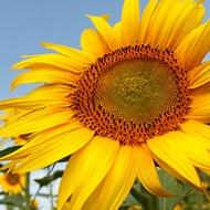 Sunflower Hinata
