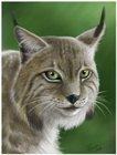 Lynx_Estel