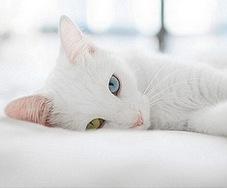 Снежнолапка
