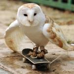 baka owl