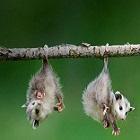 opossum_opossumov