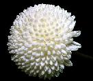 Белая Хризантема**