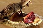 alligator211