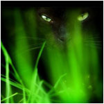 Кот камышовый