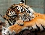 Tigrulya