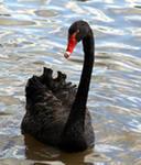 Лебедь Черная