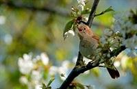 Птица певчая