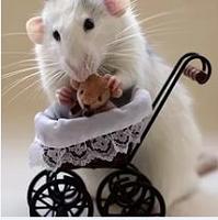 Крыса-мать*