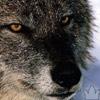 olderwolf