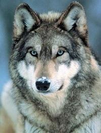 Снежная Волчица