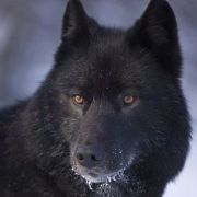 Black Wolf